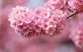 Flowers Blossom Pink blossoms HD ...