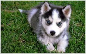 black husky puppies with blue eyes. Modren With Huskypuppieswithblueeyeswallpaper1jpg Inside Black Husky Puppies With Blue Eyes