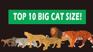 Big Cats Size Comparison
