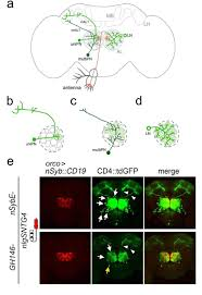 tracing neuronal circuits in transgenic animals by transneuronal connections between olfactory receptor neurons and antennal lobe neurons revealed by tract