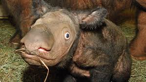 Bildresultat för sumatran rhino
