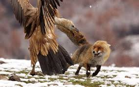Image result for vultures attacking