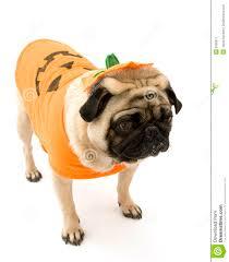 pug in pumpkin costume. Contemporary Costume Pug Standing In Halloween Costume Intended In Pumpkin U