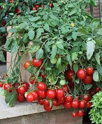 Patio Tomato Small Tasty Fruit Compact PlantsContainer Garden Plans Tomatoes