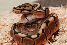 Ball Python Morph Chart 26 Types Of Ball Python Morphs And Colors Complete Breeding