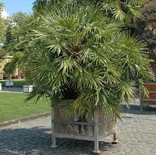 fan palm trees. european fan palm tree for sale. *images shown are of mature plants trees