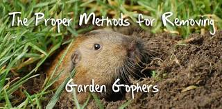 methods for removing garden gophers