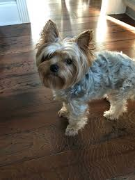 yorkie hairstyles for females fresh find yorkie terrier haircuts