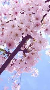 Sakura iPhone Wallpapers - Top Free ...