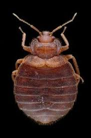 Types Of Bed Bugs Exterminator Near Me