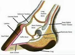 Hoof Anatomy Horse Grooming Horse Anatomy Horse Care