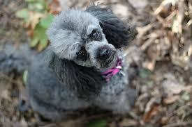 maltipoo haircuts grooming tips and