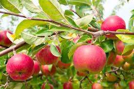 Plum Tree Harvest U2013 How And When Do You Harvest PlumsPlum Fruit Tree Varieties
