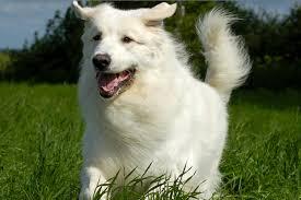 silky dog white. 10 long haired dog breeds silky white i