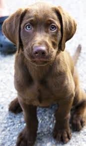 chocolate lab with blue eyes. Chocolate Lab Puppy Throughout With Blue Eyes