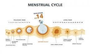 24 Day Menstrual Cycle Chart The Big O Ovulation Babymed Com