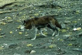Wolf Species Size Chart Himalayan Wolf Wikipedia