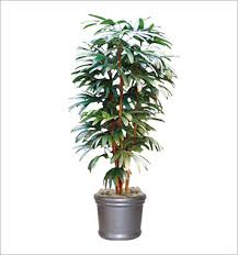 rhapis palm plant best office plant no sunlight