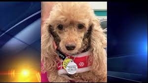 pet of the week little bit from florida poodle rescue