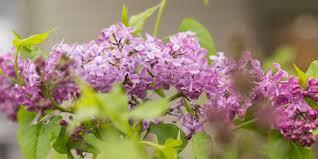 lilac pocahontas