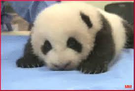 baby panda gif. Modren Panda Baby Panda GIF On Gif N