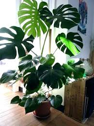 large indoor house plants large house plants types of house plants palm species and large houseplants large indoor house plants