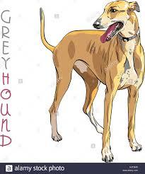 Vector Greyhound Dog breed Stock Vector ...