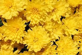 yellow flowers yellow garden flowers summer fl
