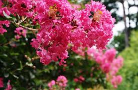 Crape Myrtle Colors Chart Crape Myrtles What You Need To Know About These Summer Bloomers