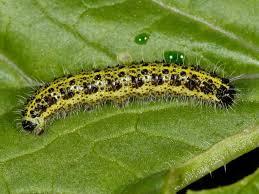 Help With Caterpillar Identification Wildlife Insight
