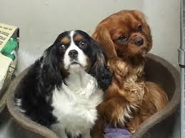 luvly acres cavaliers