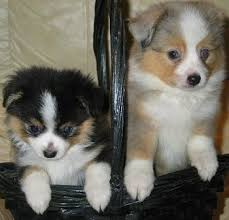 Miniature Australian Shepherd Dog Breed Information And Pictures