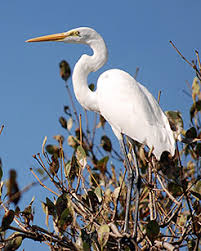 "sarah orne jewett s ""a white heron"" edsitement a great white heron photo s dhruvaraj courtesy """
