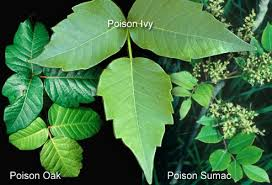 images of poison ivy and poison oak