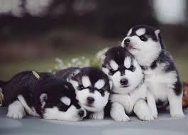 baby husky puppies tumblr. Fine Husky And Baby Husky Puppies Tumblr