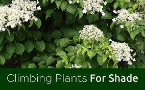 How To Grow Climbers  Australian Handyman MagazineClimbing Plants That Like Shade