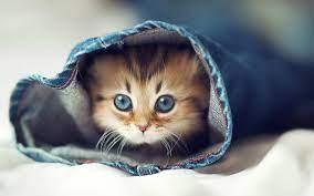 Beautiful Cute Cat Wallpaper Download