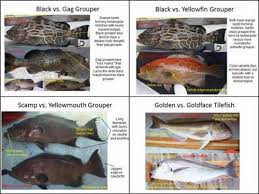 Grouper Species Chart Noaa Online Species Guide Is Now Available Outdoor