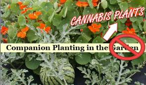 Your Guide To Companion Planting For Cannabis Plants