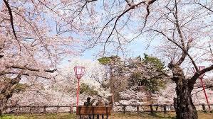 Bunga Sakura Bikin Kaget Bunga Sakura Di Jepang Bermekaran Saat Musim Gugur