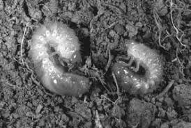 Controlling White Grubs In Turfgrass Entomology