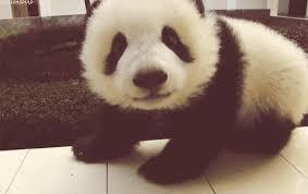 baby panda gif.  Panda Hello  U0026amplt3 GIF  Baby Panda Cute GIFs With Gif P