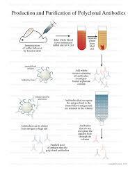 polyclonal antibodies polyclonal antibody production
