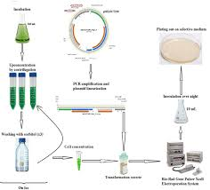 Nannochloropsis Electroporation Transformation Protocol Wetlab Wiki