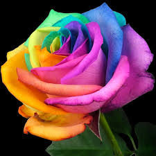 87+ Good Morning Rose Images download with Love Quotes | 111ideas