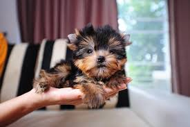 teacup puppy yorkie. Delighful Puppy Photo Credit Getty Images With Teacup Puppy Yorkie R