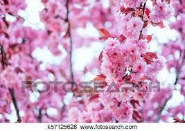 Pink Cherry Sakura Blossom Background Stock Photo