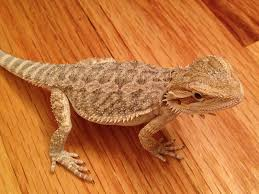 bringing home your first bearded dragon