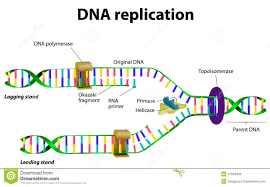 dna replication chart co dna replication stock vector image 41664959