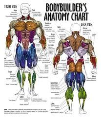 Bodybuilding Body Measurement Chart Bodybuilder Anatomy Chart Muscle Diagram Muscle Anatomy